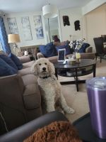 Poodle Puppies for sale in Middletown, CT, USA. price: NA