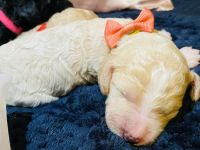 Poodle Puppies for sale in Houston, TX 77082, USA. price: NA