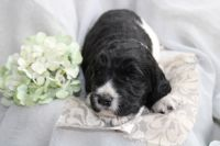 Poodle Puppies for sale in Grandview, TX 76050, USA. price: NA