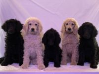 Poodle Puppies for sale in Wheeling, WV 26003, USA. price: NA