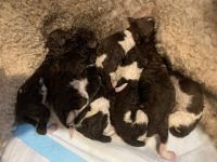 Poodle Puppies for sale in Madisonville, TN 37354, USA. price: NA