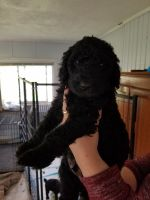Poodle Puppies for sale in Howe, IN 46746, USA. price: NA