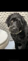 Poodle Puppies for sale in East Petersburg, PA, USA. price: NA