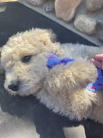 Poodle Puppies for sale in Sacramento, CA, USA. price: NA