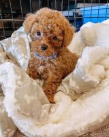 Poodle Puppies for sale in Buffalo, NY, USA. price: NA