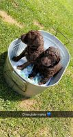 Poodle Puppies for sale in Clintwood, VA 24228, USA. price: NA