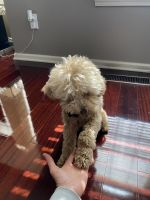 Poodle Puppies for sale in 4620 E 96th St, Indianapolis, IN 46240, USA. price: NA