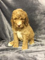 Poodle Puppies for sale in Chetek, WI 54728, USA. price: NA