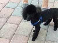 Poodle Puppies for sale in Bonita Springs, FL, USA. price: NA