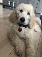 Poodle Puppies for sale in Bergen Beach, Brooklyn, NY, USA. price: NA