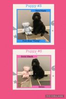 Poodle Puppies for sale in Vineland, NJ 08360, USA. price: NA