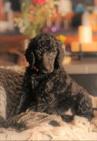 Poodle Puppies for sale in Jefferson, TX 75657, USA. price: NA