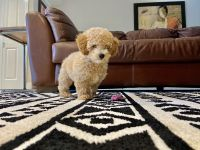 Poodle Puppies for sale in Miami Lakes, FL, USA. price: NA