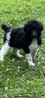 Poodle Puppies for sale in Troy, NC 27371, USA. price: NA