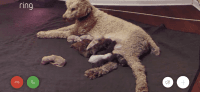 Poodle Puppies for sale in 1720 Mark Lee Dr, Austell, GA 30106, USA. price: NA