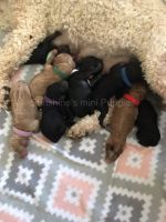 Poodle Puppies for sale in Soldotna, AK 99669, USA. price: NA