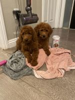 Poodle Puppies for sale in City of Industry, CA 91746, USA. price: NA
