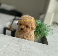 Poodle Puppies for sale in Wethersfield, CT, USA. price: NA