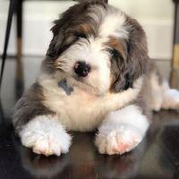 Poodle Puppies Photos