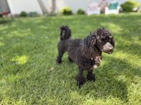 Poodle Puppies for sale in Newport Beach, CA, USA. price: NA