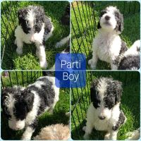 Poodle Puppies for sale in El Paso, TX 79938, USA. price: NA