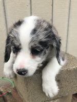 Poodle Puppies for sale in Bellefontaine, OH 43311, USA. price: NA