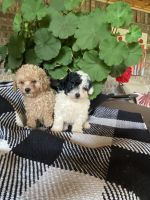Poodle Puppies for sale in Spearman, TX 79081, USA. price: NA