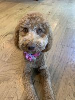 Poodle Puppies for sale in Orem, UT, USA. price: NA
