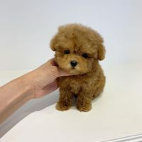 Poodle Puppies for sale in Albuquerque, NM, USA. price: NA