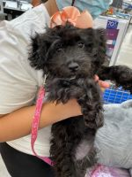 Poodle Puppies for sale in 9 Ackerson St, Bay Shore, NY 11706, USA. price: NA