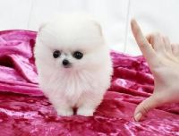 Porcelaine Puppies for sale in Grand Rapids, MI, USA. price: NA