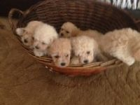 Porcelaine Puppies for sale in 58503 Rd 225, North Fork, CA 93643, USA. price: NA