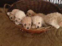 Porcelaine Puppies Photos