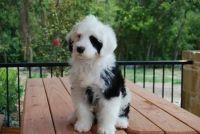 Portuguese Pointer Puppies Photos