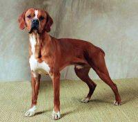 portuguese pointer dog