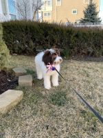 Portuguese Water Dog Puppies Photos