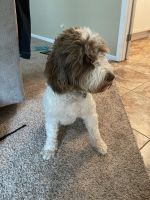Portuguese Water Dog Puppies for sale in Ballwin, MO, USA. price: NA