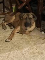 Presa Canario Puppies for sale in Albany, NY 12209, USA. price: NA