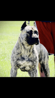 Presa Canario Puppies for sale in Hialeah, FL, USA. price: NA