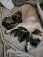 Presa Canario Puppies for sale in Redding, CA, USA. price: NA