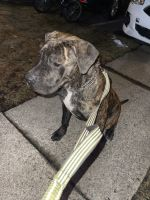 Presa Canario Puppies for sale in Galloway, NJ 08205, USA. price: NA