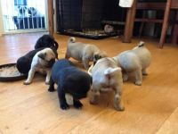 Pudelpointer Puppies for sale in New York, NY, USA. price: NA