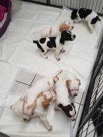 Pudelpointer Puppies for sale in Florida City, FL, USA. price: NA