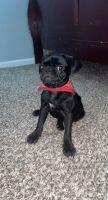 Pug Puppies for sale in Guyton, GA 31312, USA. price: NA