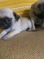Pug Puppies Photos
