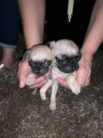 Pug Puppies for sale in Houston, TX, USA. price: NA