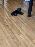 Pug Puppies for sale in West Covina, CA, USA. price: NA