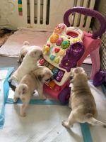 Pug Puppies for sale in Texarkana, TX, USA. price: NA
