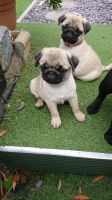 Pug Puppies for sale in New York, NY 10012, USA. price: NA