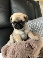 Pug Puppies for sale in Albuquerque, NM, USA. price: NA